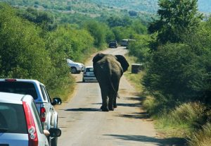 Does Car Insurance Cover Damages Hitting Animals with Your Car?